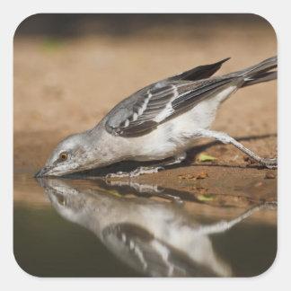 Northern Mockingbird drinking at south Texas pon Square Sticker