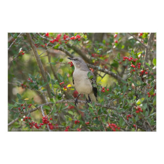 Northern Mockingbird in Red Berry Tree Poster