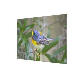 Northern Parula Parula americana) male Gallery Wrap Canvas