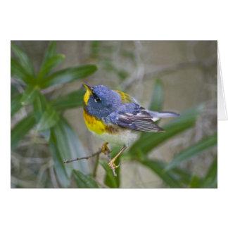 Northern Parula Parula americana) male Card