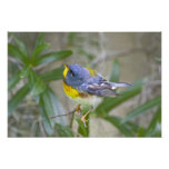 Northern Parula Parula americana) male Photo