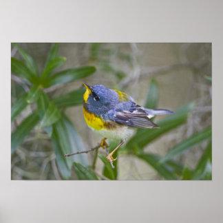 Northern Parula Parula americana) male Print