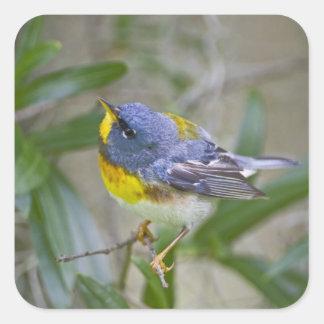Northern Parula Parula americana) male Square Sticker