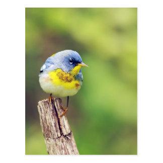 Northern Parula Warbler bird pretty photo Postcard