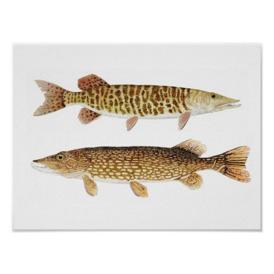 Northern Pike & Barred Muskie Art Poster