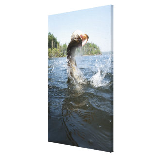 Northern Pike jumping out of water in a lake. Canvas Print
