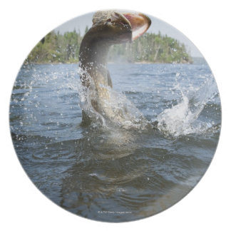 Northern Pike jumping out of water in a lake. Dinner Plate