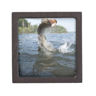 Northern Pike jumping out of water in a lake. Jewelry Box