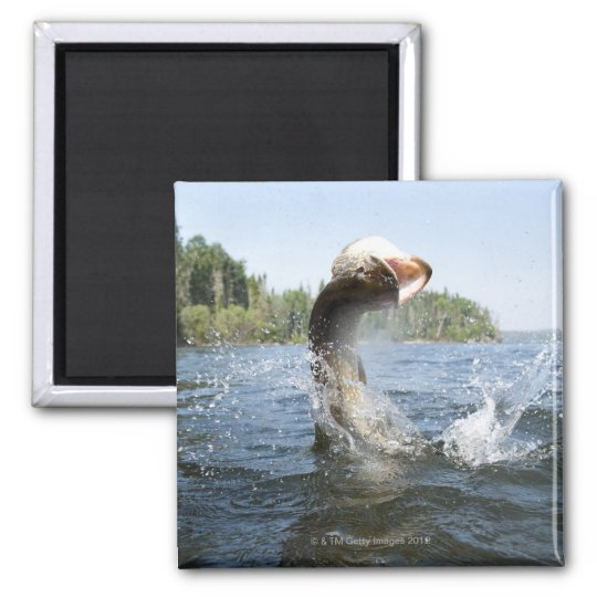 Northern Pike jumping out of water in a lake. Magnet