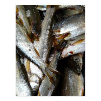 Northern Pike Minnow Fish Postcard