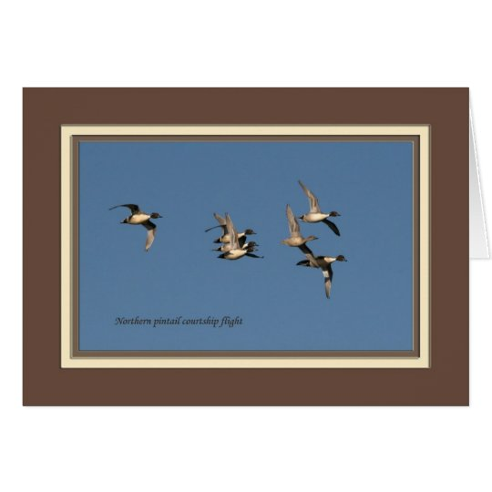 Northern pintail courtship flight_5436 card