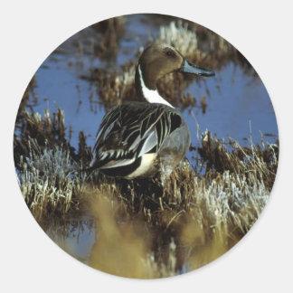 Northern Pintail Drake Sticker