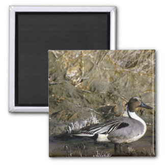 Northern Pintail Duck 2 Inch Square Magnet