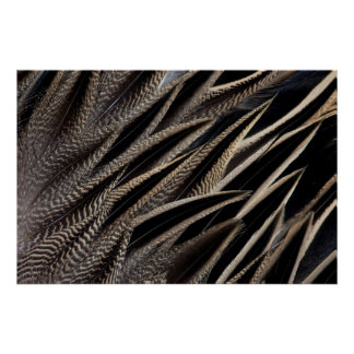 Northern Pintail Duck Feathers Poster