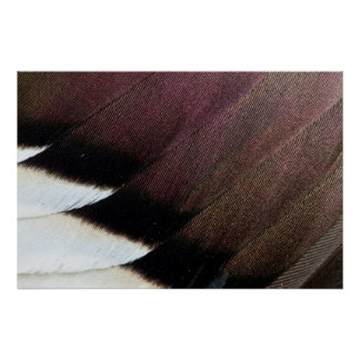 Northern Pintail Feather Abstract Poster