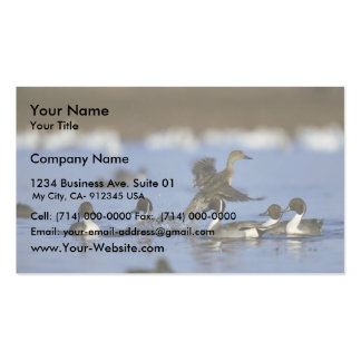 Northern Pintail Flock Business Card