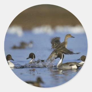 Northern Pintail Flock Round Sticker