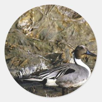 Northern pintail male round sticker