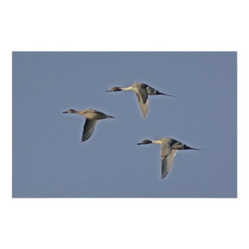 Northern Pintails Poster
