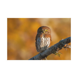 Northern Pygmy Owl against fall colours Canvas Print