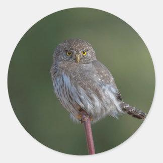 Northern Pygmy-owl Classic Round Sticker