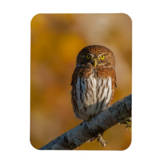 Northern pygmy owl magnet