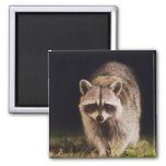 Northern Raccoon, Procyon lotor, adult at 2 Inch Square Magnet