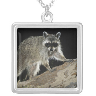 Northern Raccoon, Procyon lotor, adult at 2 Silver Plated Necklace