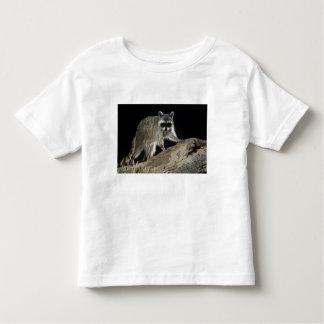 Northern Raccoon, Procyon lotor, adult at 2 Toddler T-shirt