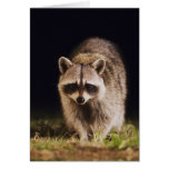 Northern Raccoon, Procyon lotor, adult at Card