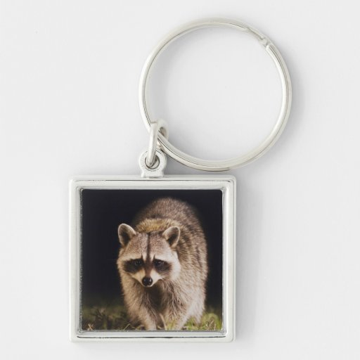 Northern Raccoon, Procyon lotor, adult at Keychain