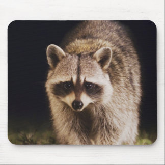 Northern Raccoon, Procyon lotor, adult at Mouse Pad