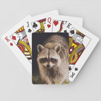 Northern Raccoon, Procyon lotor, adult at Poker Deck