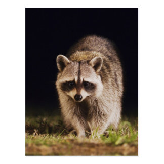 Northern Raccoon Procyon lotor adult at Post Card