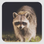 Northern Raccoon, Procyon lotor, adult at Square Sticker