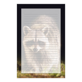 Northern Raccoon, Procyon lotor, adult at Stationery