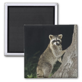 Northern Raccoon, Procyon lotor, adult at tree 2 Inch Square Magnet