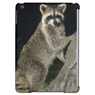 Northern Raccoon, Procyon lotor, adult at tree Case For iPad Air