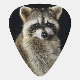 Northern Raccoon, Procyon lotor, adult at tree Guitar Pick