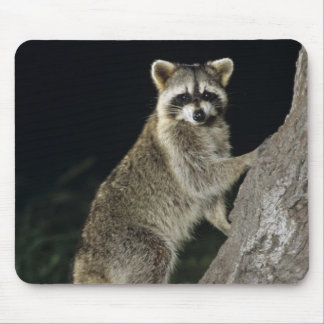 Northern Raccoon, Procyon lotor, adult at tree Mouse Pad