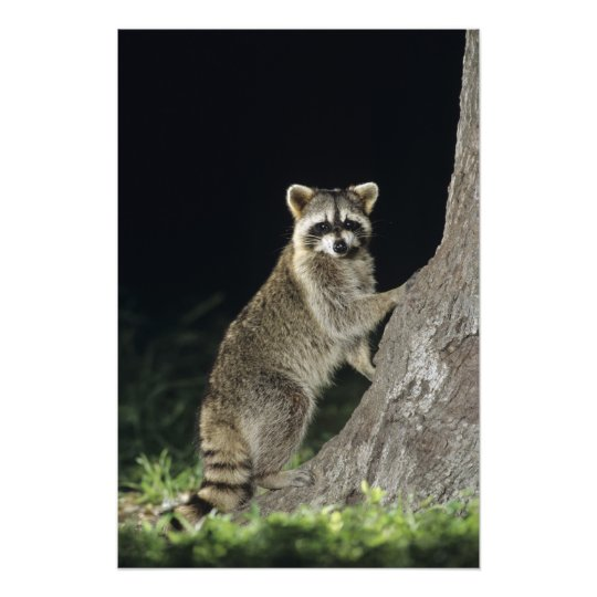 Northern Raccoon, Procyon lotor, adult at tree Photo Print
