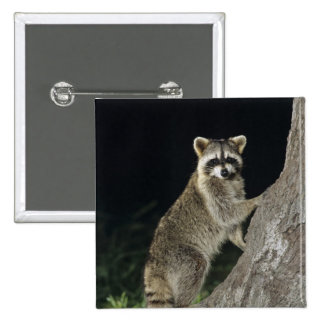 Northern Raccoon, Procyon lotor, adult at tree Pinback Button