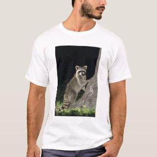 Northern Raccoon, Procyon lotor, adult at tree T-Shirt