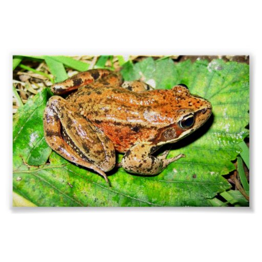 Northern Red legged frog Posters