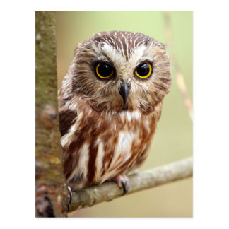 Northern Saw whet Owl (Aegolius acadicus) Postcard