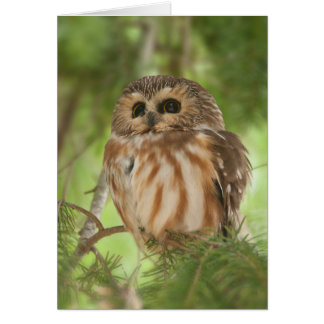Northern Saw-whet Owl Cards