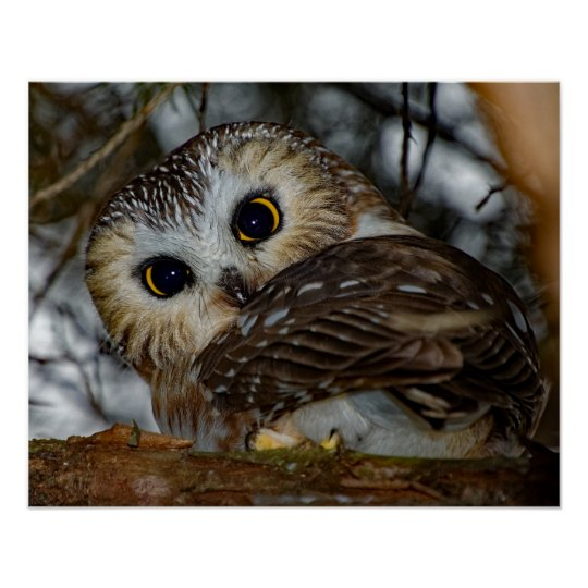 Northern Saw Whet Owl Close Up 16x20 Poster Zazzle Com