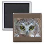 Northern Saw-whet Owl Close-Up 2 Inch Square Magnet