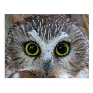Northern Saw-whet Owl Close-Up Postcard