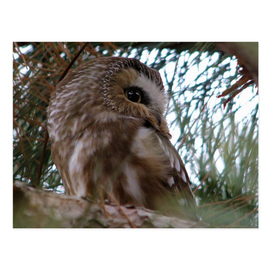 Northern Saw-Whet Owl Gifts and Apparel Postcard